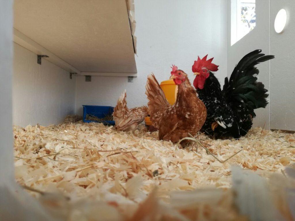 hühner mit aufmerksamen blick richtung hühnerklappe