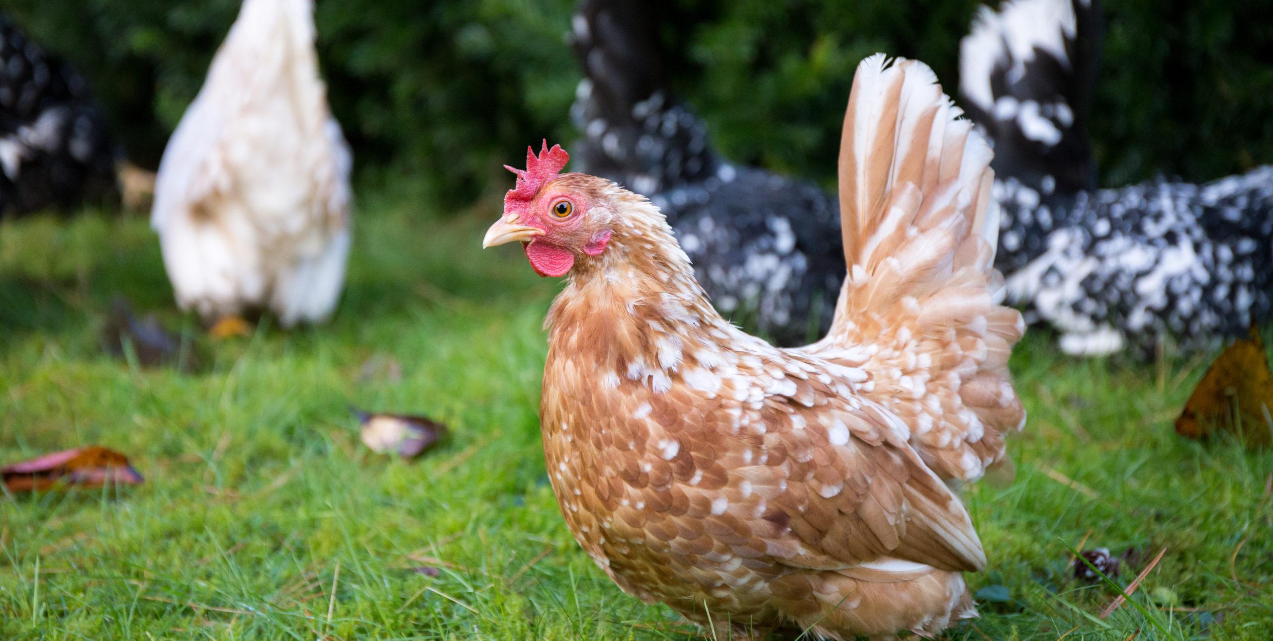 Haus und Huhn